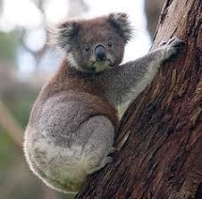 Koalas in Hills