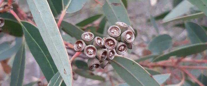 Eucalyptus species 'Cattai'